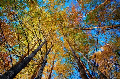 14217496-Tree-canopy-in-autumn-birch-forest-on-blue-sky-Stock-Photo