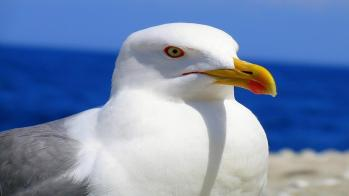 68833704-seagull-wallpapers