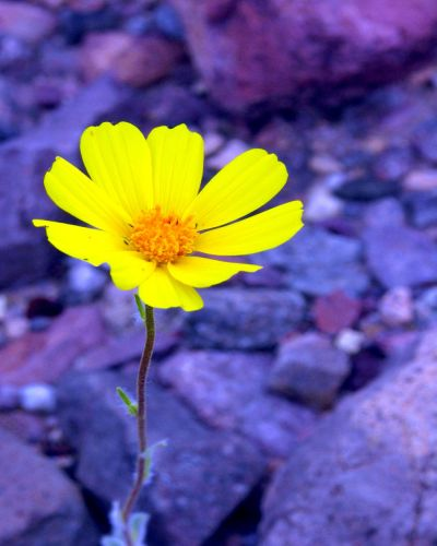 DESERT GOLD Wildflower