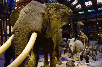 Grande_Galerie_Louis_XV_Elephant
