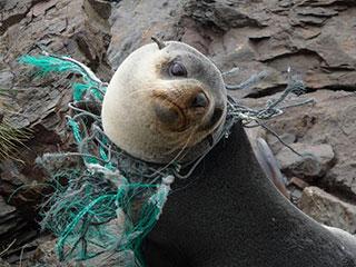 pic-ocean-plastic-sea-lion