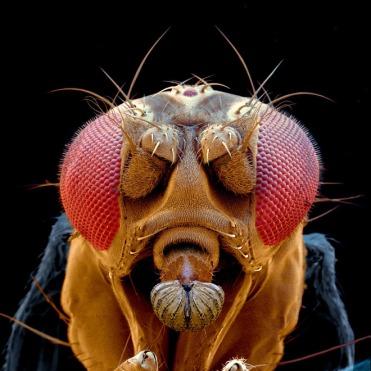 drosophila-fly-head-electron-microscope-spl